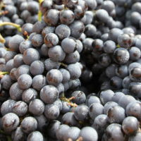 winegrapes1